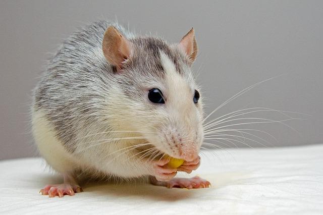 domácí potkan